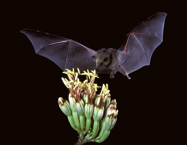 murciélagos-polinizadores