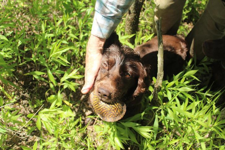 Asombroso: perros entrenados rastrean a tortugas en peligro de extinción para preservar su especie