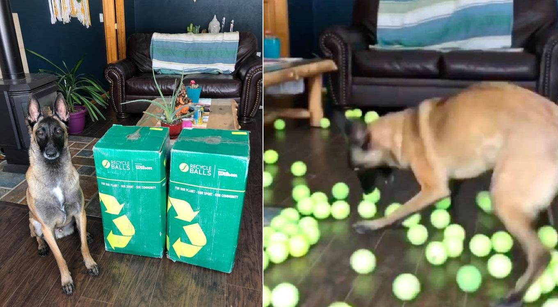 Un perro se llevó la gran sorpresa y se volvió loco el día de su cumpleaños al recibir 400 pelotas de tenis de regalo
