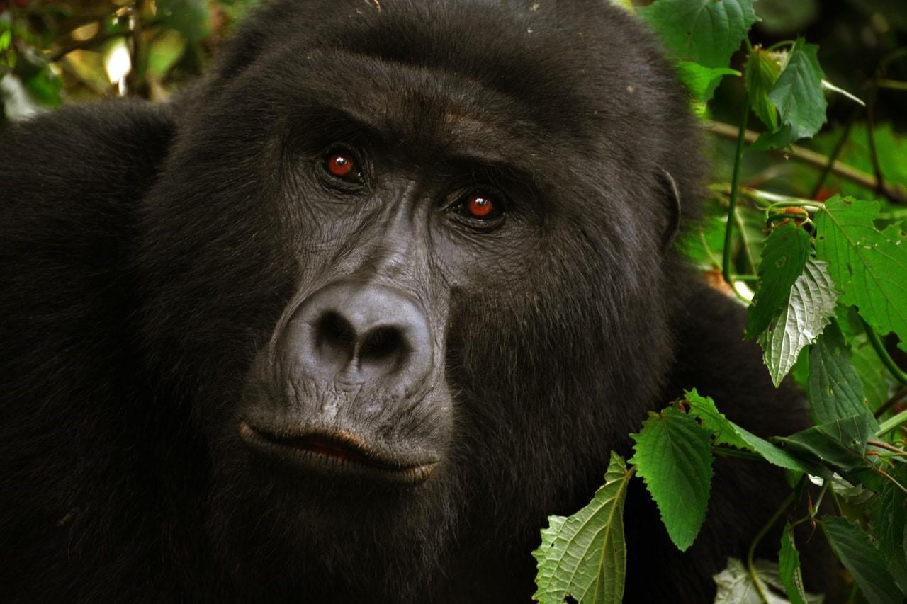 manada de gorilas