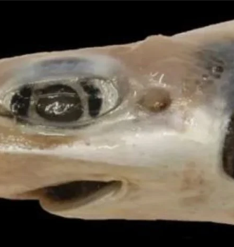 Tiburon-sin-piel