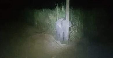 Elefante bebé se esconde detrás de un poste de luz