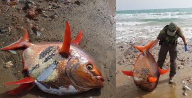 Encontrado Pez Luna Roja fallecido en Murcia