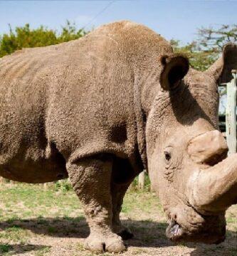 rinoceronte-blanco (2)