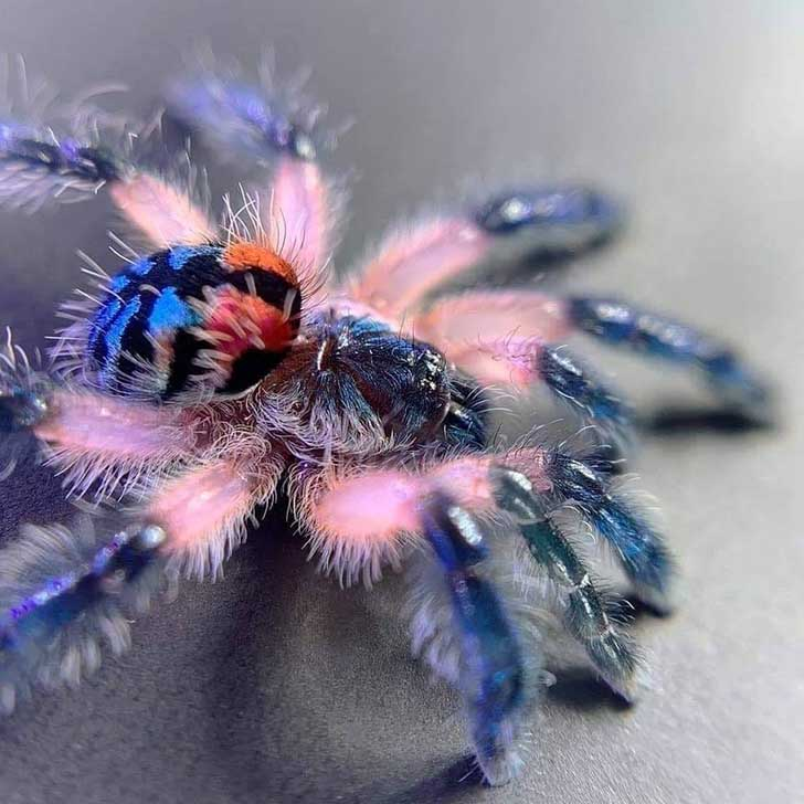tarantula-brasileña
