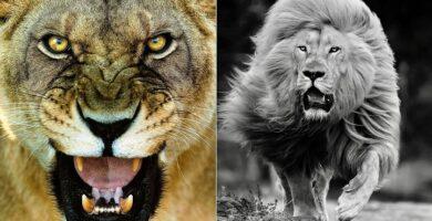 leones blancos
